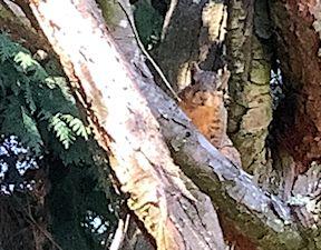 squirrel in cedar tree