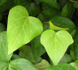 Heart-Shaped Ivy Leaves