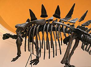 Bolton Tuojiangosaurus dinosaur